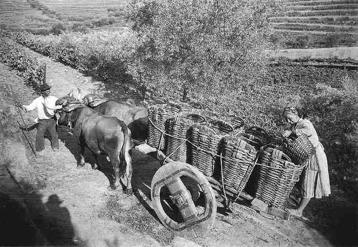 Transport of grapes to the winery